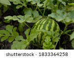 Young Watermelon Growing In The ...