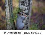 An Adorable Squirrel  Sciurus...
