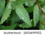 Water Droplets Shine On The...