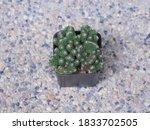 Top View Of Euphorbia Lactea...