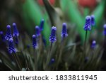 Muscari On A Green Background...