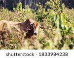 Thai Zebu Cattle Breeds From...