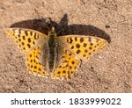 Fritillary Butterfly Basking I...