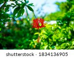Red Flower  Hibiscus And Green...