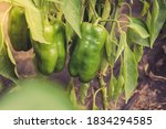 Green Peppers Ripen On A Plant...