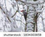 A Pileated Woodpecker On A Tre...