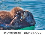 Mother Sea Otter Kissing Her...