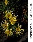 Light Yellow Flowers Of...