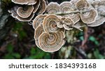 Turkey Tail Polypore Mushrooms...