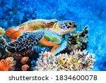 The Hawk Beak Sea Turtle Swims...
