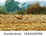 Pheasant Running Across A...