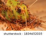 Small Group Of Red Ant Biting A ...