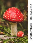 Fly Agaric Mushrooms In A Dutch ...