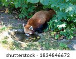 Red Panda At The Water Hole...