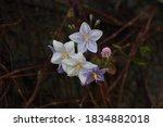 Solanum Jasminoides Flowers ...