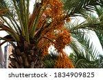 Ripening Fruits On Date Palm I...