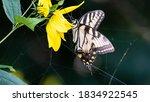 Eastern Tiger Swallowtail...