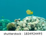 Damselfish  Pomacentrus...