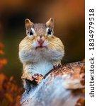 Closeup Pf A Cute Chipmunk In...