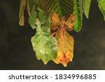 Java leaf insect  phyllium...