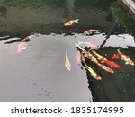 Colorful Fancy Carp Fish  Koi...