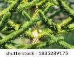 Araucaria Araucana  Commonly...