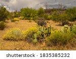 Blooming Prickly Pear Cactus...