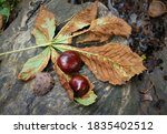 Chestnuts And Leaves On Stump