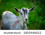 The Portrait Of Funny Goat On...