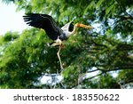 A Painted Stork In Flight With...