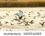 A White Pelican Flies Among A...