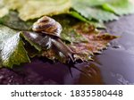 Snail And Grape Leaves. A Wet...