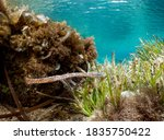 Pipefish In The Sea Grass In...
