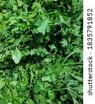 Small photo of Leaf celery (Apium graveolens var. secalinum Alef), also called Chinese celery or Nan Ling celery, is a variety of celery cultivated in East Asian countries for its edible, flavorful stalks and leave