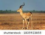 A Male Impala Antelope ...