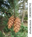 Fir Branch With Two Hanging...