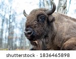 Bison Head Close Up. Large Male ...