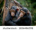 Chimpanzee Sibling Hugging Each ...