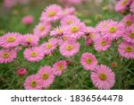 Blooming Pink Asters In The...