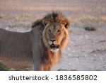 Powerful Male Lion Spotted Late ...