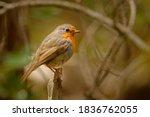 European Robin   Erithacus...