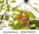 Hamelia Patens  Plant With Red...