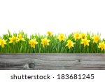 Spring Daffodils Flowers With...