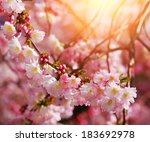 sakura. cherry blossom in...   Shutterstock . vector #183692978