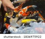 Children's Hands Hold Fish Food....