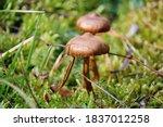 Brown Honey Mushrooms On A...
