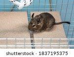 Little Cute Gray Mouse Degu...