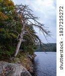 Dead Oak Tree Standing By The...