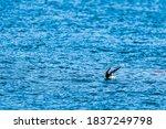 Japanese Cormorant Landing On...