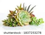 Mix Green Echeveria Succulent...